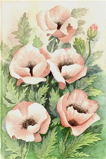 Pink Poppies - Floral Art Prints - Sussex Artist - Audrey Laycock - Watercolour Gallery