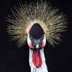 Crowned Crane – Bird and Animal Art – Original Painting – Claire Heffron Award Winning Wildlife Artist