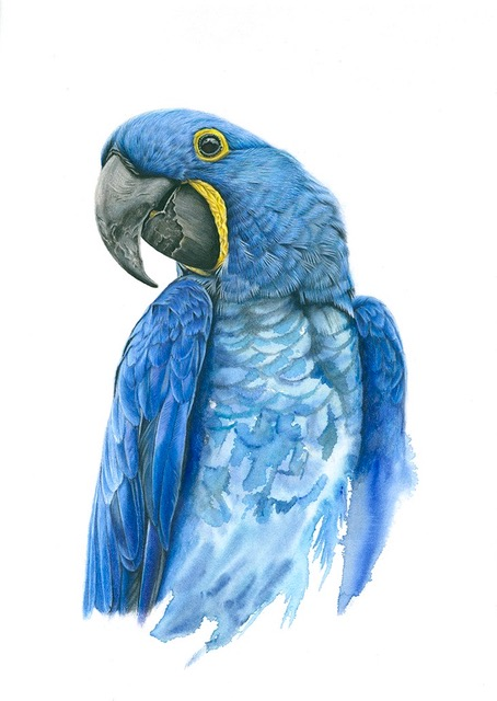 Hyacinth Macaw - Blue Parrot - Bird and Animal Art Gallery - Original Painting and Fine Art Prints - Claire Heffron Award Winning Wildlife Artist
