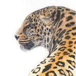 Leopard – Giclee Fine Art Prints – Award Winning Wildlife Artist Claire Heffron